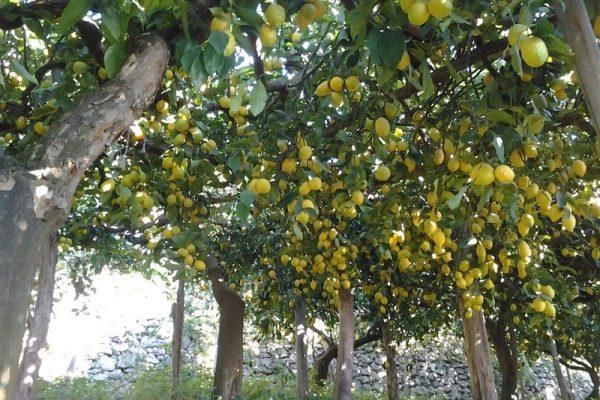 Campania_magazine_sentiero-dei-limoni-limoneto